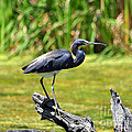 Tricolored Heron by Al Powell Photography USA
