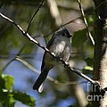 Tufted Titmouse 2 by Living Color Photography Lorraine Lynch