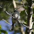 Tufted Titmouse by Living Color Photography Lorraine Lynch