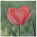 Tulip Trio by Susan Cliett