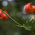 Turk's Cap Lily by Mel Hensley