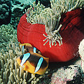 Twoband Anemonefish by Georgette Douwma