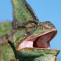 Veiled Chameleon Chamaeleo Calyptratus by Ingo Arndt