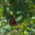 Viceroy Butterfly by Donna Brown