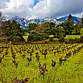 Vineyards And Mt St. Helena by Garry Gay
