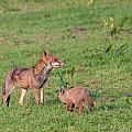 Vixen And Cub by Dawn OConnor
