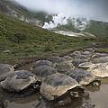 Volcan Alcedo Giant Tortoise Geochelone by Pete Oxford