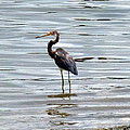 Wading Heron by Carla Parris