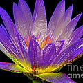 Water Lily by Mark Gilman