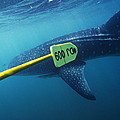 Whale Shark Being Tagged by Alexis Rosenfeld
