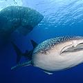 Whale Shark Feeding Under Fishing by Steve Jones