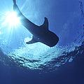 Whale Shark Near Surface With Sun Rays by Mathieu Meur