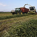 Wheat Harvest For Silage by Photostock-israel
