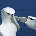White-capped Albatross Thalassarche by Tui De Roy