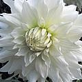White Dahlia Beauty by Lora Fisher