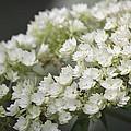 White Hydrangea Bloom by Teresa Mucha