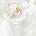 White Rose Flower Petals by Jennie Marie Schell