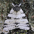 White Underwing Moth by Doris Potter