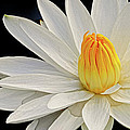 White Waterlily by Dave Mills