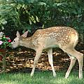 Whitetail Deer by Randy J Heath