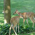 Whitetail Fawns by Randy J Heath