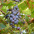 Wild Grapes by Angie Rea