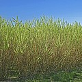 Willow Bioenergy Crop, Sweden by Bjorn Svensson