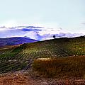 Wine Vineyard In Sicily by Madeline Ellis