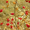 Winter Berries by Vicky Mowrer