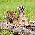 Wolf Cubs On Log by John Pitcher