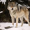Wolf by Don Hammond
