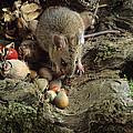 Wood Mouse Feeding by David Aubrey