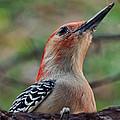 Woodpecker II by Debbie Portwood