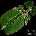 X-ray Of A Giant Leaf Insect by Ted Kinsman