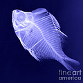 X-ray Of A Humphead Glassfish by Ted Kinsman