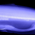 X-ray Of A Trout by Ted Kinsman