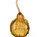 X-ray Of Fall Decorative Gourd by Ted Kinsman