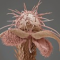 Yellow Dung Fly's Foot, Sem by Steve Gschmeissner