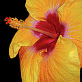 Yellow Hibiscus by Dave Mills