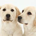 Yellow Labrador Retriever Pups by Mark Taylor
