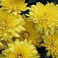 Yellow Mums by Nancy TeWinkel Lauren