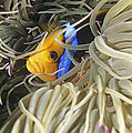 Yellowtail Anemonefish In Its Anemone by Alexis Rosenfeld