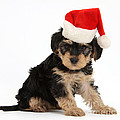 Yorkipoo Pup Wearing Christmas Hat by Mark Taylor