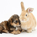 Yorkipoo Pup With Sandy Rabbit by Mark Taylor
