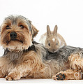 Yorkshire Terrier Dog And Baby Rabbit by Mark Taylor