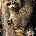 Young Raccoon by Doris Potter