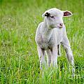 Young Sheep by Mats Silvan