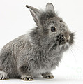 Young Silver Lionhead Rabbit by Mark Taylor