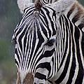 Zebra by Thomas Marchessault