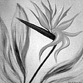 Bird Of Paradise by Gina De Gorna